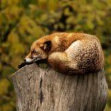 睡眠中のキツネ